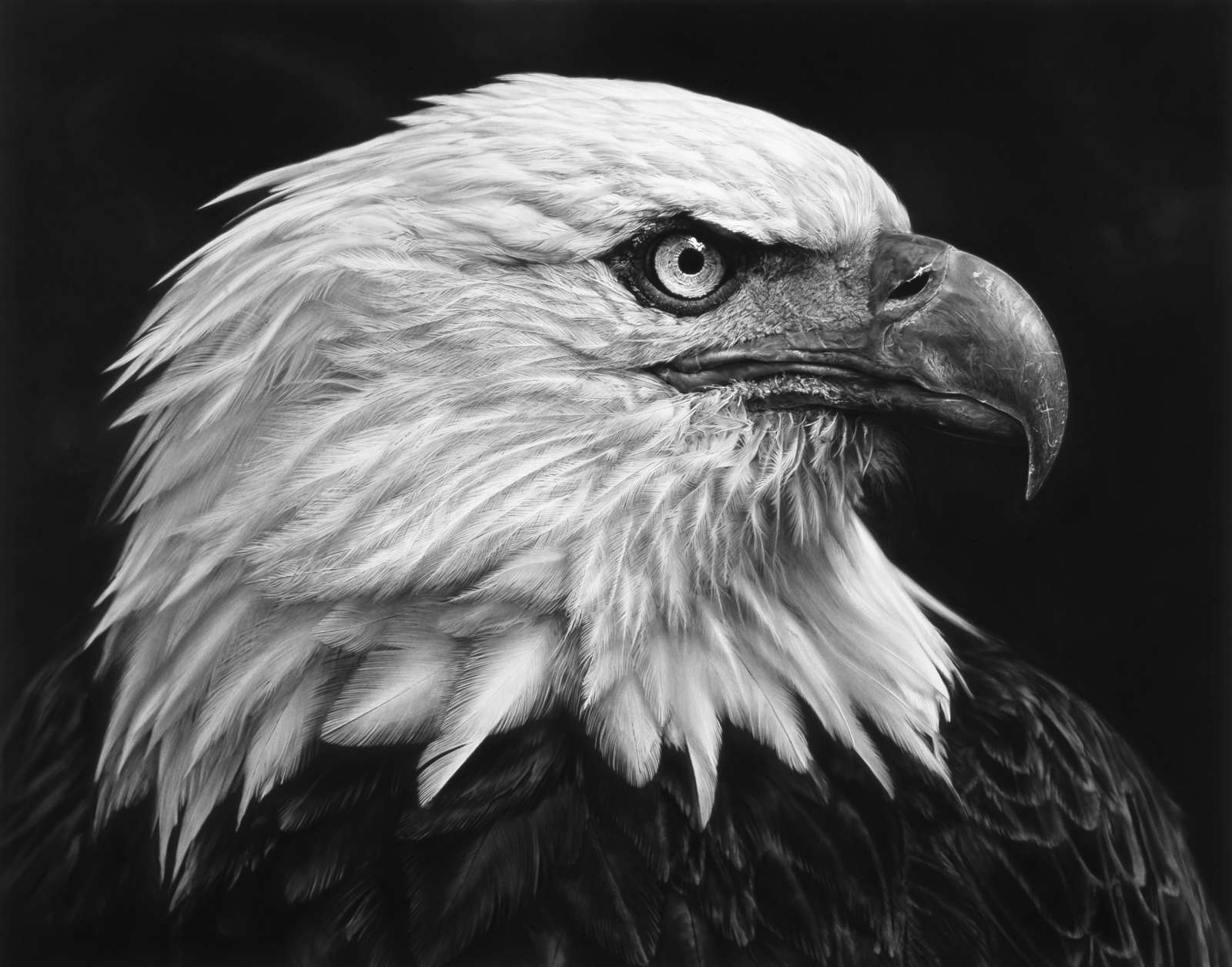 Robert Longo: Untitled (American Bald Eagle) 2017. Charcoal on mounted paper. Ståhl Collection, Norrköping, Sweden. © Robert Longo/VG Bild-Kunst Bonn, 2018.